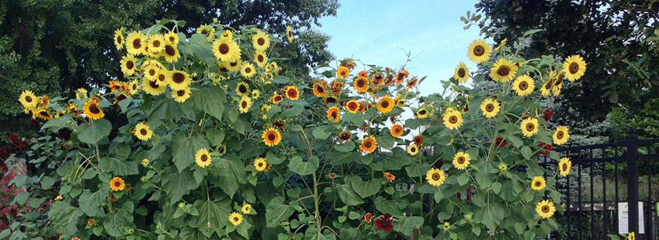 sunflowers-slider